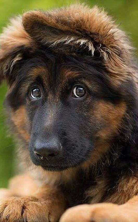 Follow Baylee Adams for more AWESOME pins like this one ❤ Gsd Dog Cute