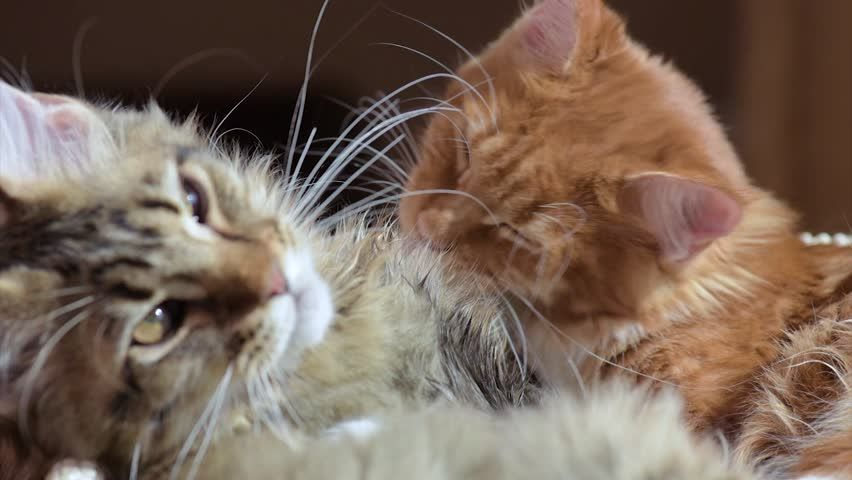 Two cats licking each other Funny Maine coon kitten relationship care and love Beautiful kitty washes at home