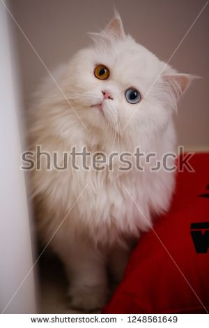 cute funny white persian cat with long hair has different eyes blue and yellow