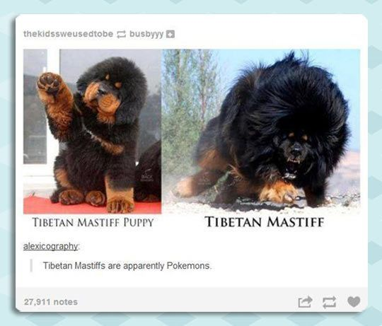 Tibetan Mastiff Evolution Funny Animals Cute Animals Really Funny Funny Cute Hilarious