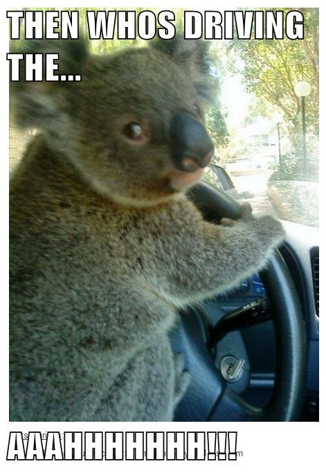 Stupid Jokes · Who let the koala drive Koalas Funny Koala Koala Meme Otter Meme
