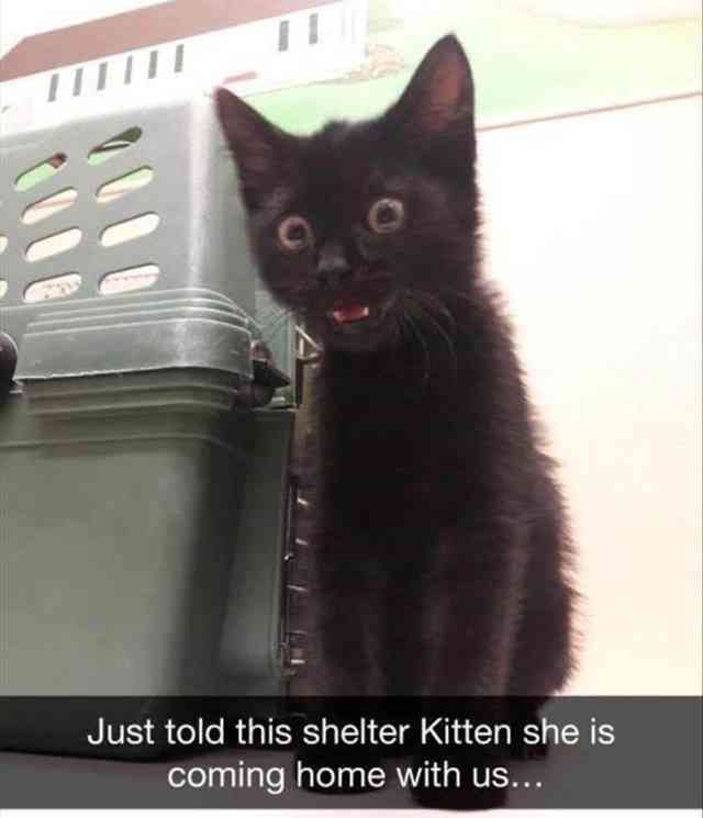 Cat Kitten Meme Humour Meme Just told this shelter Kitten she is