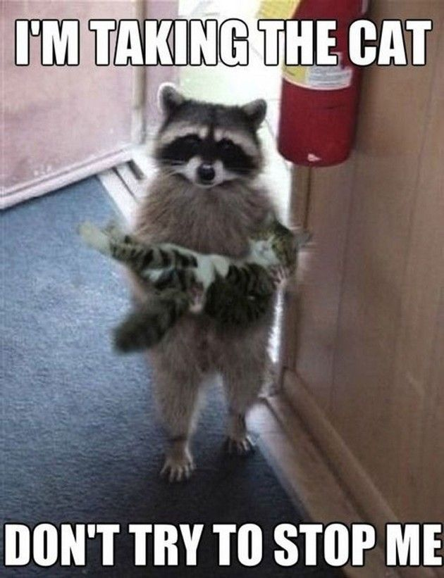 """I m taking the cat Don t try to stop me "" Raccoons are so adorable and I love it when they act like people Look at this little guy carrying a kitty"