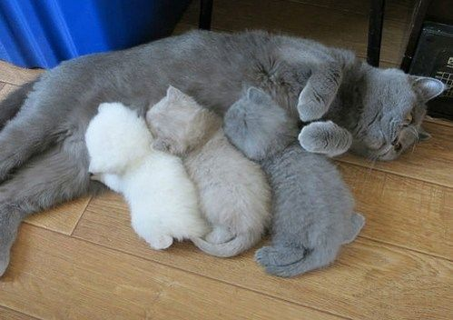 Momma cat running out of toner as 3 kittens of varying less greyscale feed from her