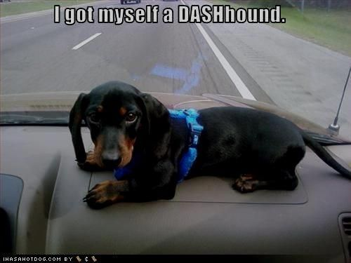funny dachshund pictures