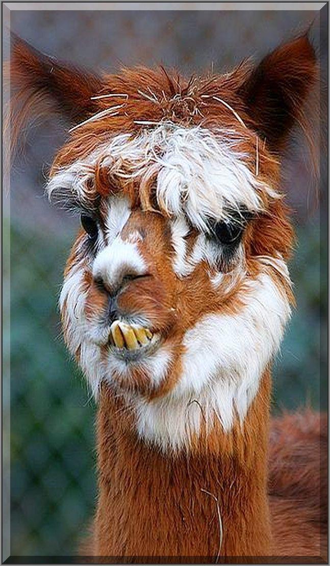 SOOO FUNNY ALPACA 💜💜💜 by Aimee Alpaca Vs Llama Alpaca Plushie