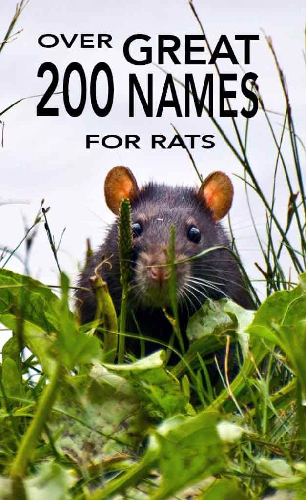 Ideas and inspiration for naming your pet rat Over 200 rat names to choose from