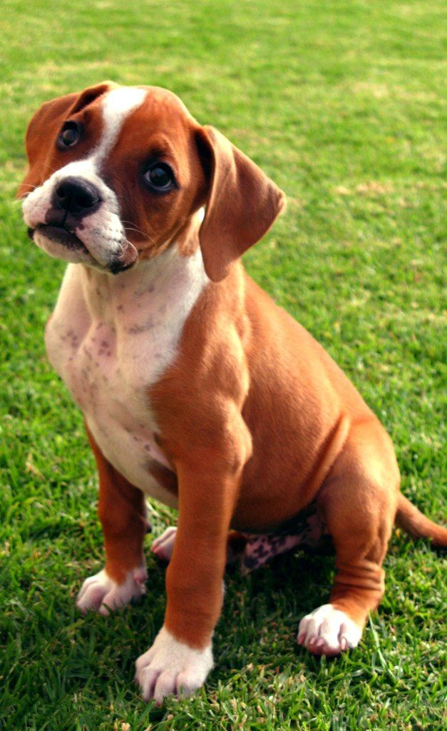 Boxer puppy fawn