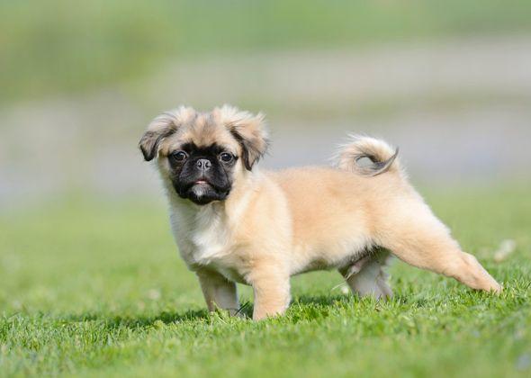chug puppy alamy exwm5a 590