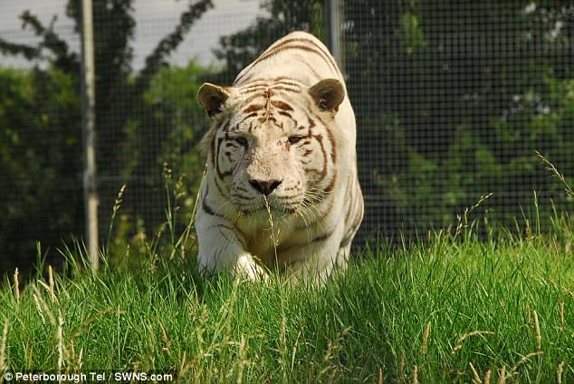 e of the white Bengal tigers at Hamerton Zoo Park Police have not confirmed if