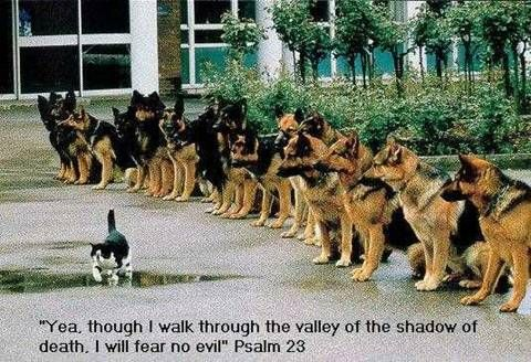 Psalm 23 – Cat walking past long line of german shepherd dogs