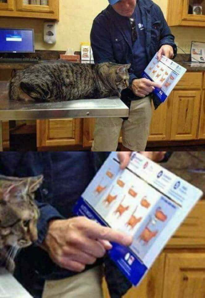The vet is showing my cat how fat he is