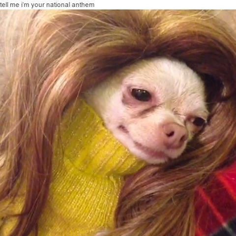 wig lanadelrey chihuahuas hair funny chihuahua humor pet music animal hilarious memes puppy dogs wigs meme chihuahuasofinstagram omg pets lmfao haha