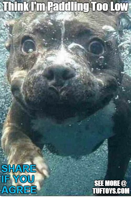 funny pit bull puppy who may be swimming a little lower than anticipated learning doggy paddle