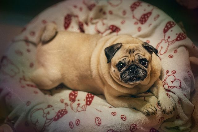 Is Your Pug Driving You Crazy Make Massive Change To Your Pug´s Behaviour