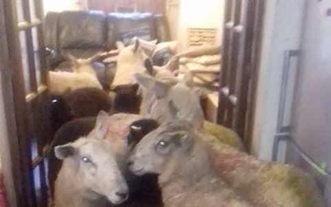 Sheepdog sheep kitchen home farmer Devon