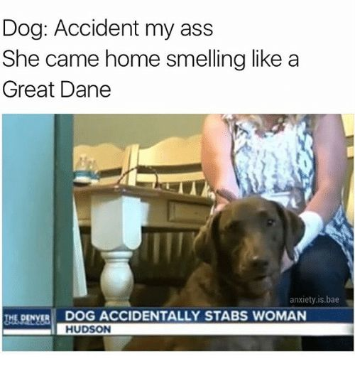 Memes 🤖 and Great Dane Dog Accident my ass She came home