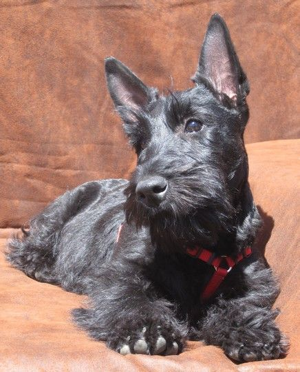 What a BEAUTIFUL scottie Scottish Terrier Puppy Terrier Dogs I Love Dogs Cute