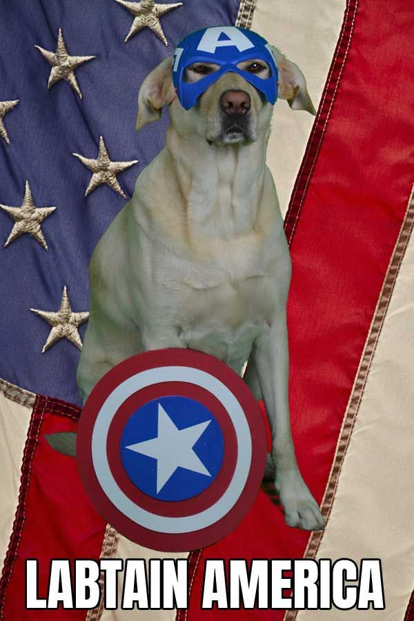 Funny Dog Meme Ideas for Halloween Costumes for Dogs Cali the Funny Labrador dressed up like Captain America dogsincostumes barkingLaughs dogs