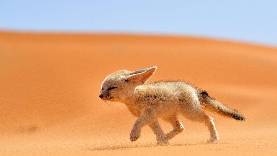 """The fennec or desert fox is a canine mammal species of the genus"