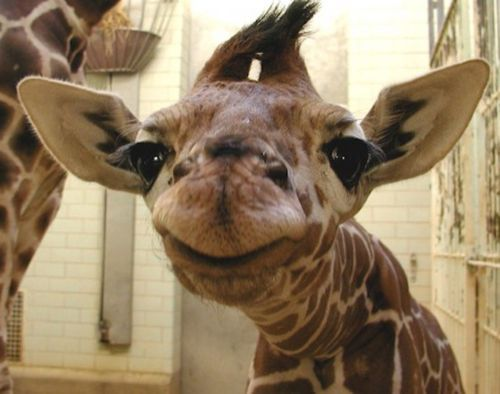 Funny pictures about Baby giraffe is pleased Oh and cool pics about Baby giraffe is pleased Also Baby giraffe is pleased photos