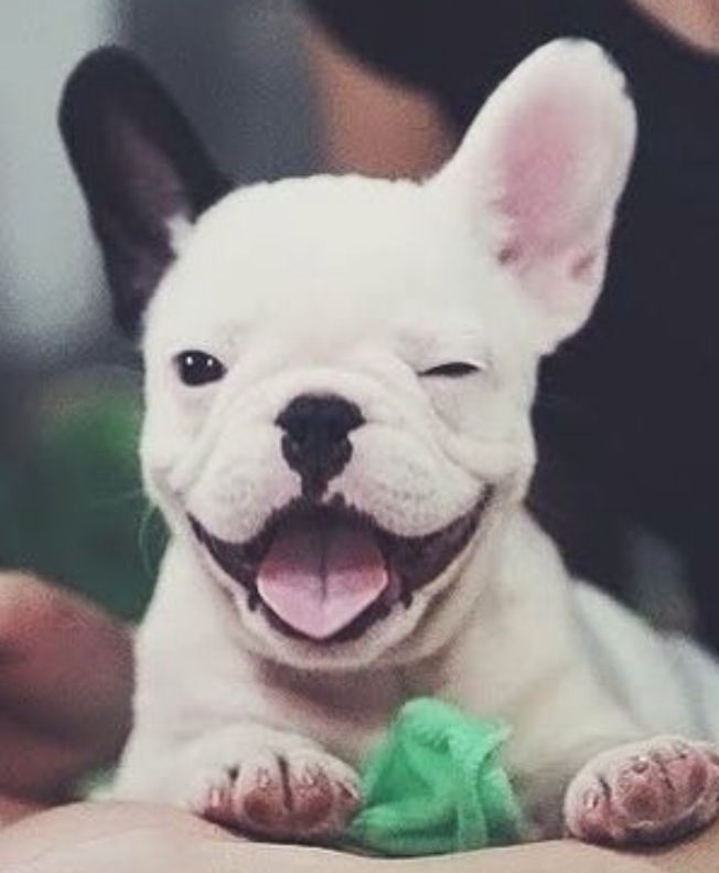 FRENCH BULLDOG Baby Animals Funny Animals Cute Animals Cute Puppies Cute Dogs