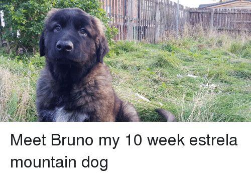 Dog Bruno and Mountain Dog Meet Bruno my 10 week estrela mountain dog
