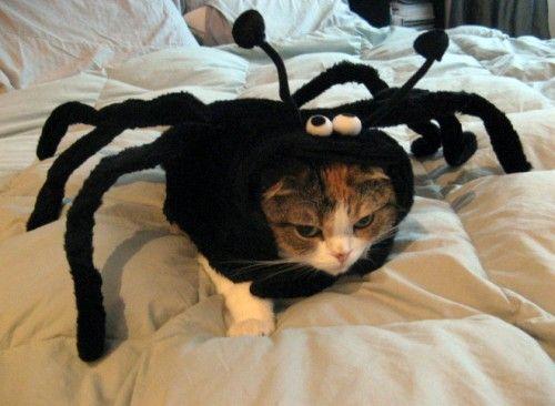 """Create meme """"The cat spider The cat spider spider cat funny cat """""""