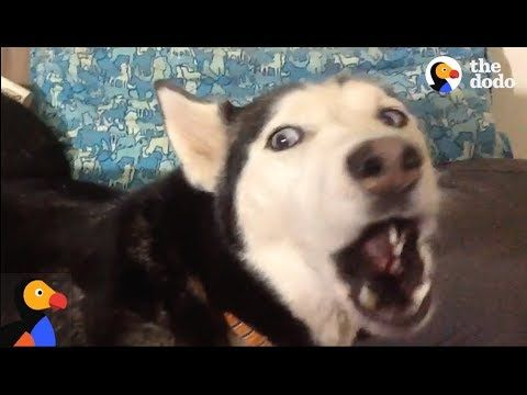 ANGRY Husky Can t Resist Singing Her Favorite Song