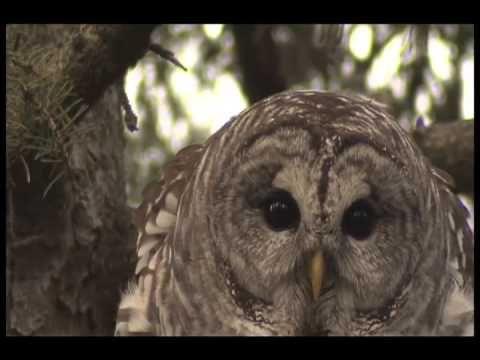 BARRED OWL AMAZING VOCALS