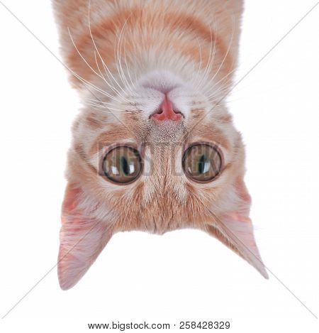 Funny Cat With Big Eyes White Background Cute Pet