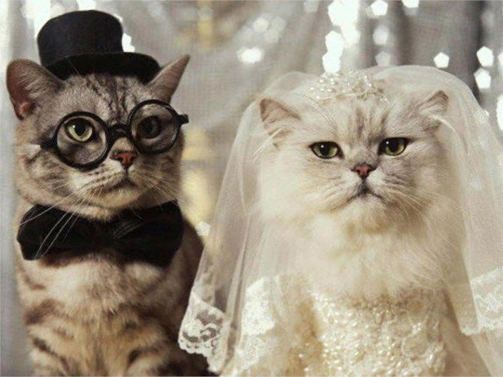 funny cat wedding picture 5848