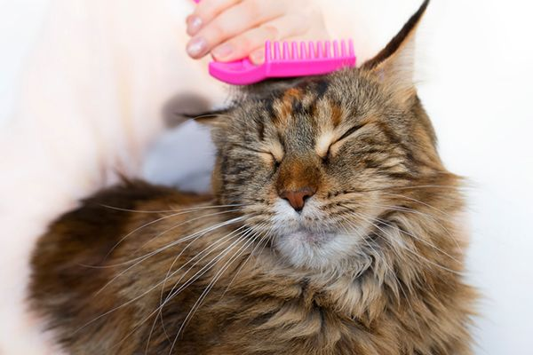 A fluffy brown cat ting groomed with a pink brush