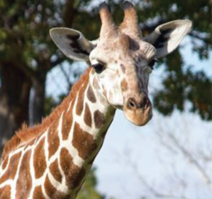 Grab Hold Of the Best Of Funny Animal Pictures Giraffe Teeth