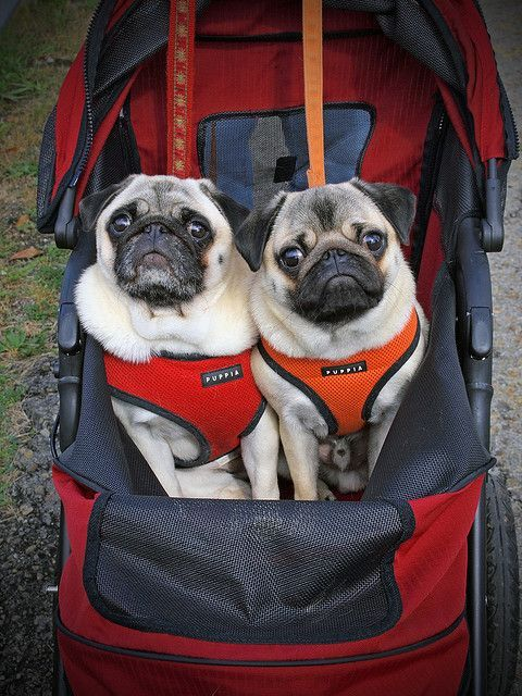 Twins ha ha ha I love puggies and how they always look perpetually surprised