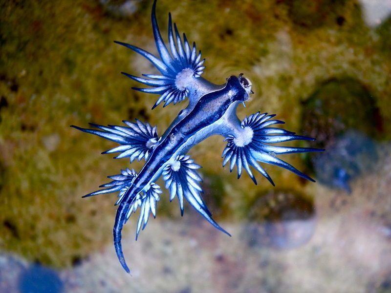 Tiny Real Life Dragon Makes A Stunning Rare Appearance a type OD sea slug nudibranch