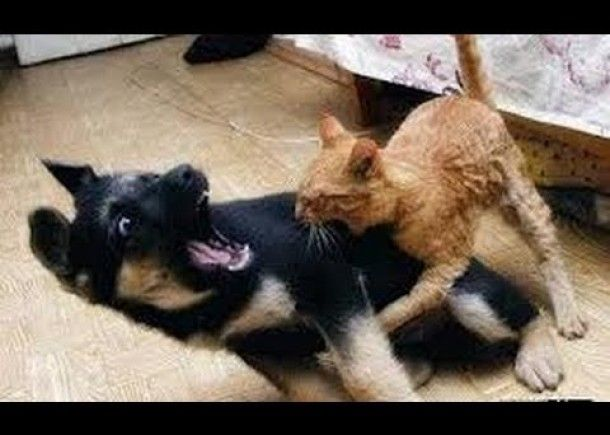 Cats and dogs fight for beds and sofa – Funny animal pilation
