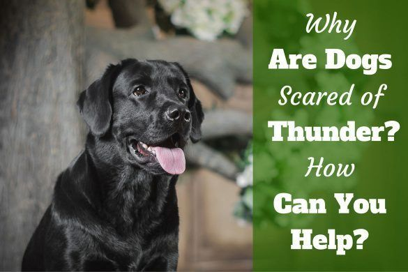 Why are dogs scared of thunder portrait of black labrador