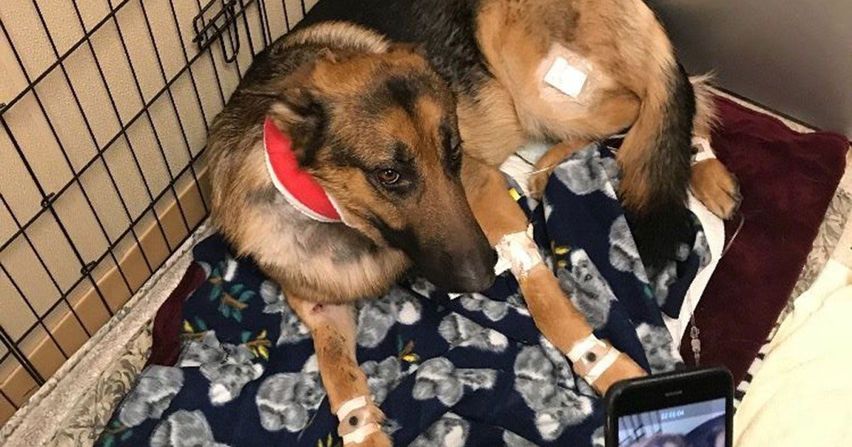 Dog Shot Multiple Times Saved 16 Year Old Owner from Burglary