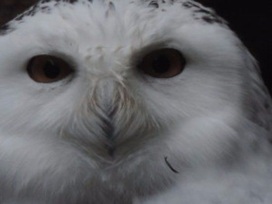 North Island Wildlife Recovery Centre Snowy owl