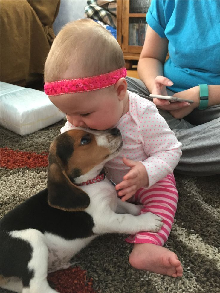 Beagle puppies and babies What could be cuter Beagle