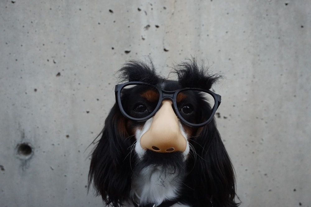 black and white dog with disguise eyeglasses