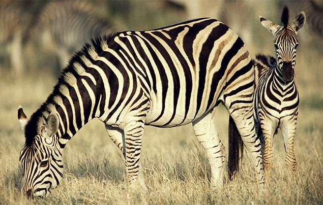 We re off to Africa to meet one of nature s coolest looking creatures Check out our ten top zebra facts