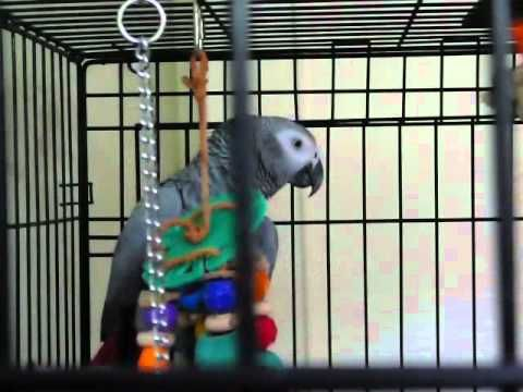 Best talking parrot in the world Clover knows 350 words with subtitles
