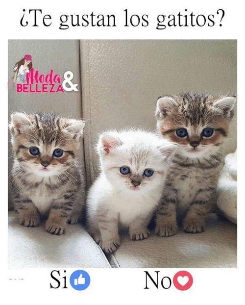 Te gustan los gatitos od BELLEZA Si NoO Meme