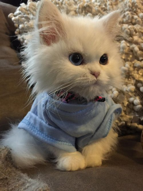 This fluffball of a kitten looks like a stuffed animal photo via donofthedeadx
