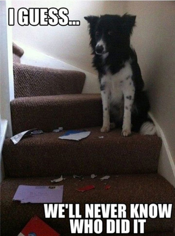 "101 best funny dog memes ""I guess we ll never know who did it """