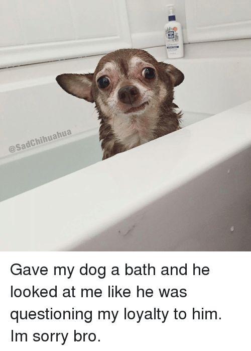 Chihuahua Dogs and Sorry Chihuahua Sad Gave my dog a bath and