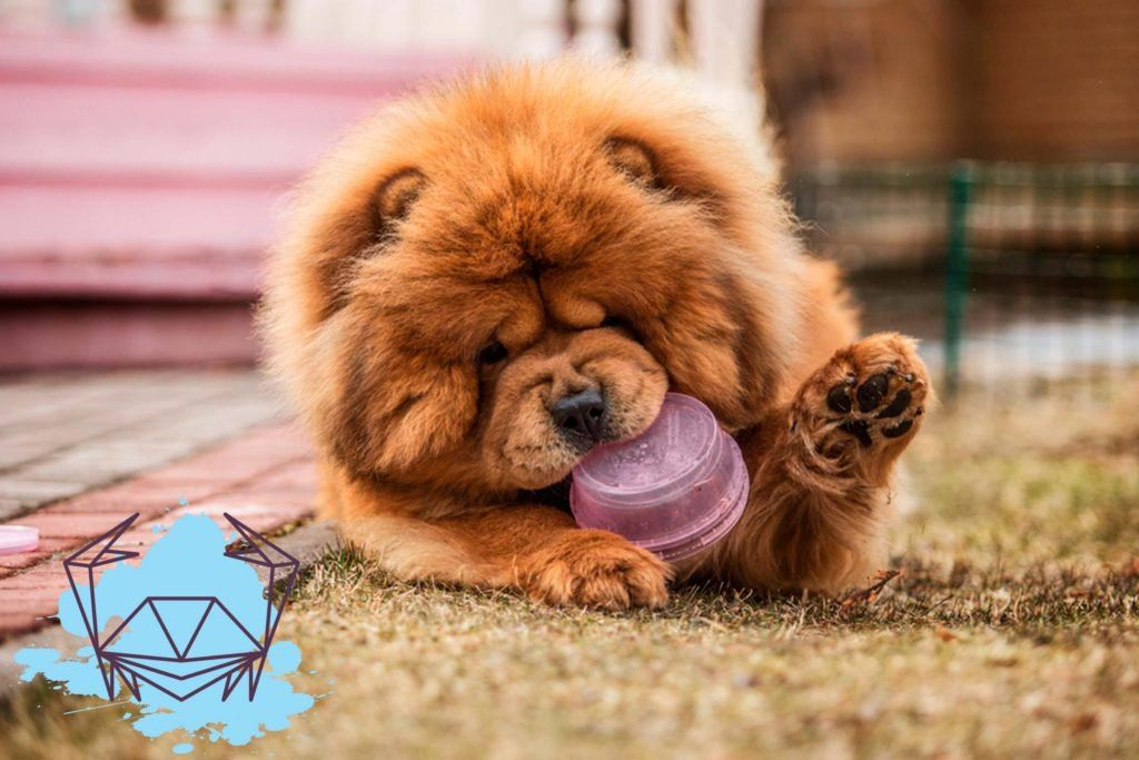 Best dog breed for Cancer chow chow