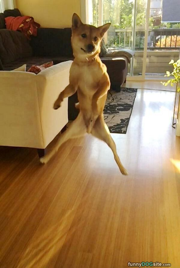 Jumping For Joy funnydogsite dogs funny cute